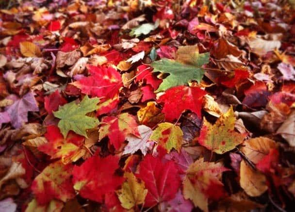 Ramassage des feuilles mortes au jardin…
