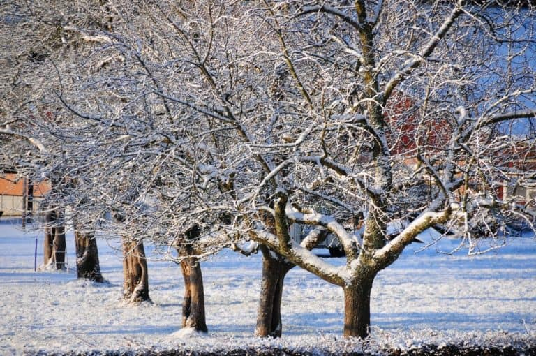 Astuce d'hiver pour les arbres fruitiers !